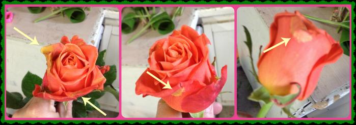 Pétalos marchitos de la rosa