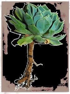 Echeveria glauca