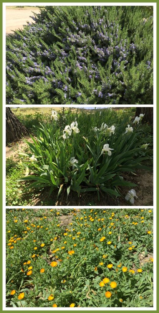 Arbustos de romero, iris blanco y floresitas silvestres