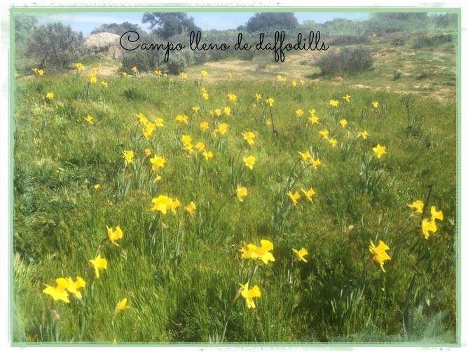 Campo lleno de daffodills