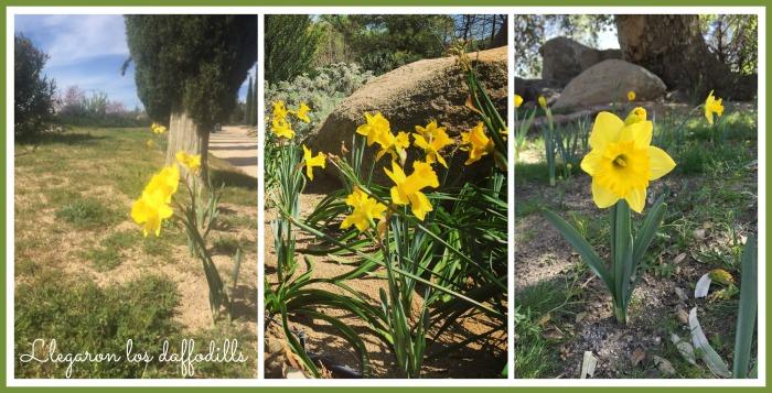 Hermosos daffodills