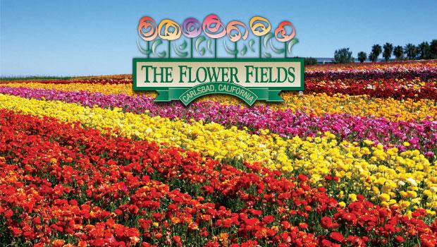 the-flower-fields-san-diego