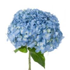 hortencia azul