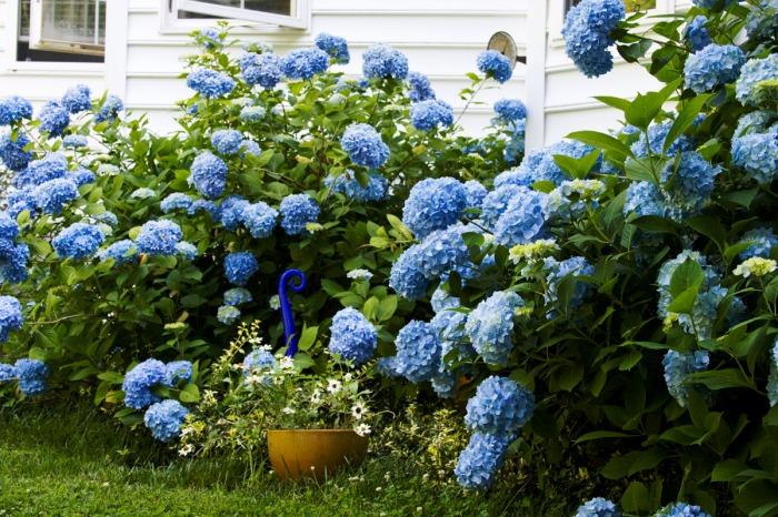jardin con hortencia azul